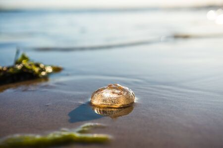 Single Moon Jellyfish lying on the Baltic Sea beach during the sunset 版權商用圖片