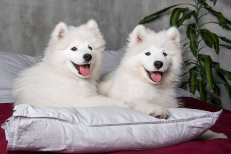 Two samoyed dogs puppies in bed on white pillows Imagens