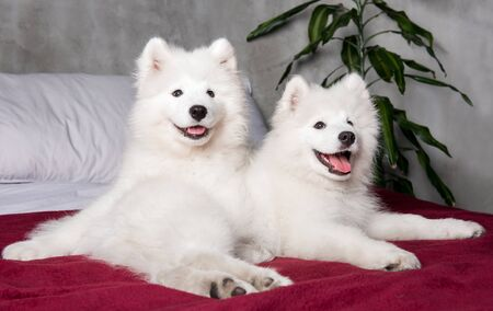 Two samoyed dogs puppies in the red bed on bedroom