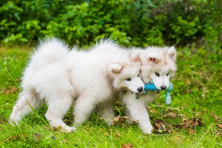 Two Funny fluffy white Samoyed puppies dogs are playing on the green grass Imagens