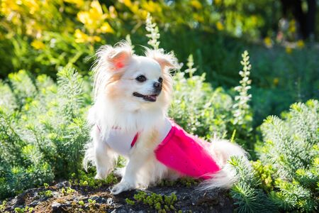 Small funny longhair Chihuahua dog enjoy walking 版權商用圖片