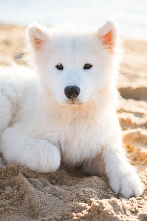 White dog Samoyed walks on the shore of the Baltic Sea