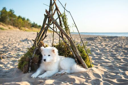 White dog Samoyed is sitting in a doghouse on shore of Sea