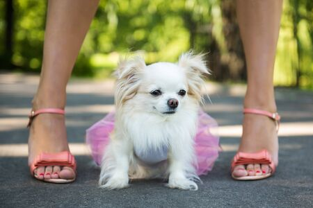 Longhair Chihuahua dog enjoy walking with owner. Imagens