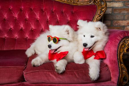 Funny white Samoyed dogs on the red luxury couch