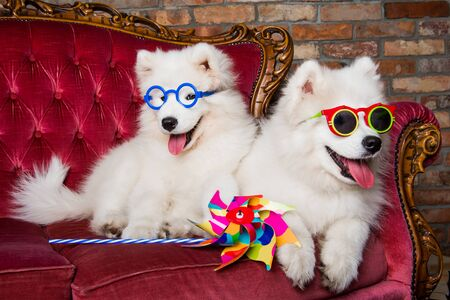 Funny white Samoyed dogs puppies on the red luxury couch