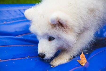 Samoyed puppy dog stand in plastic mattress