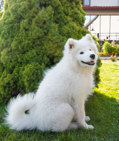 White Samoyed puppy dog is sitting on green grass