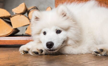 Funny Samoyed dog puppy with firewood on wooden floor and fireplace. Stock Photo