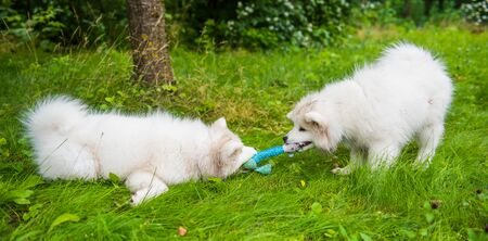Two Funny fluffy white Samoyed puppies dogs are playing on the green grass Stock Photo