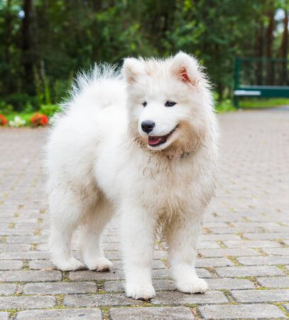 Adorable white samoyed puppy dog is walking in the yard Stock Photo