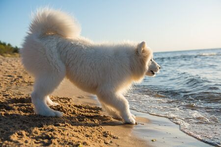 White dog Samoyed barks on the shore of the Baltic Sea