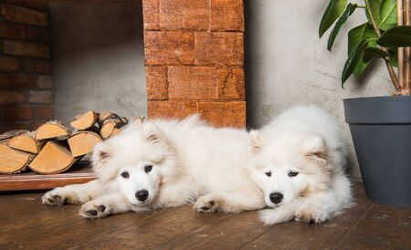Two Funny Samoyed dog puppies with firewood on wooden floor and fireplace.