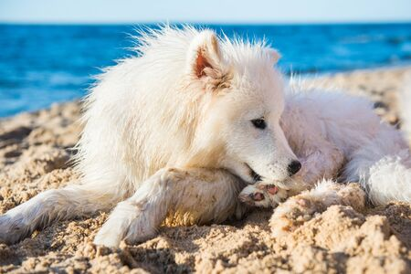 White dog Samoyed is lying near Sea on the sand