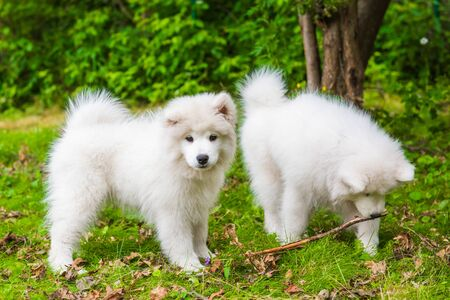 Two Funny fluffy white Samoyed puppies dogs are playing with toy on the green grass Stock Photo
