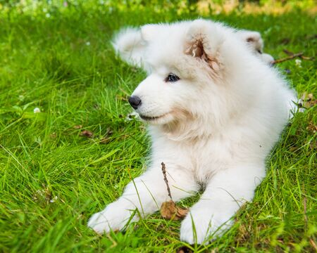 White Samoyed puppy dog bitten tick in the garden on the green grass