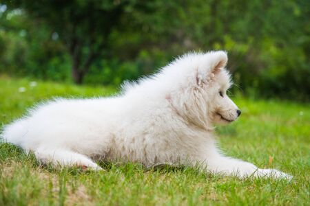 White Samoyed puppy dog is sitting in the garden on the green grass