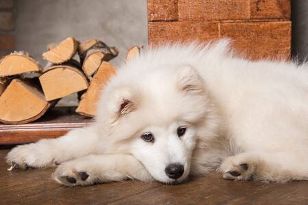 Funny Samoyed dog puppy is sleeping on wooden floor and fireplace. 写真素材