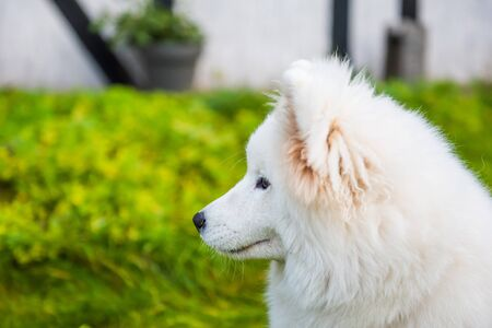 Happy Samoyed dog looking up at its owner