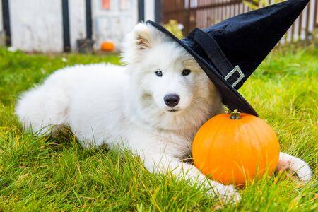 White Samoyed dog in hat with halloween pumpkin.