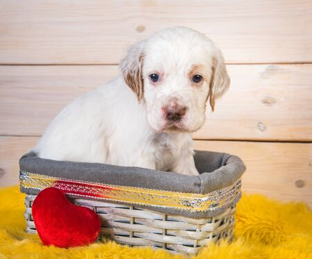 Cute English Setter puppy dog in a wood basket.