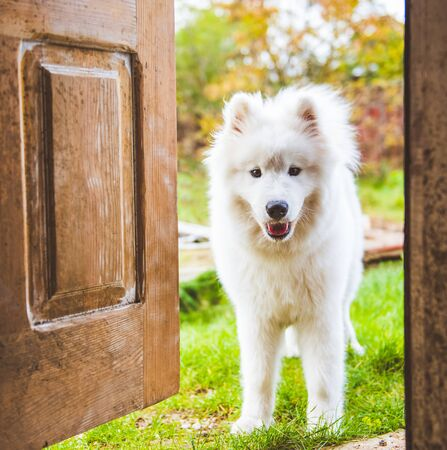 Samoyed dog at the door at home watching the house from behind