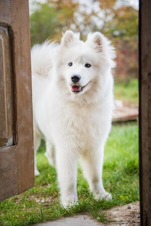 Samoyed dog at the door at home watching the house Stock fotó