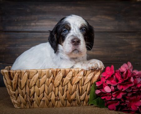 Cute English Setter puppy dog with blue eyes.