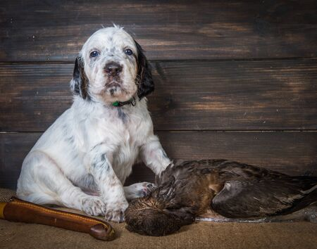 Cute english setter puppy dog with knife and duck