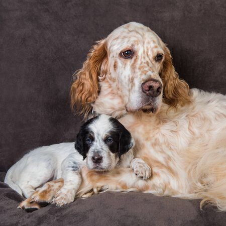 English setter big dog mother and puppy 스톡 콘텐츠
