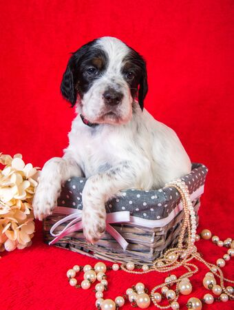 English setter puppy in a wood basket with flowers