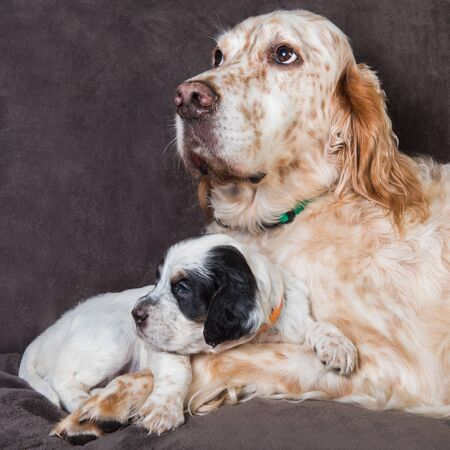English setter big dog mother and puppy