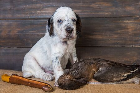 english setter puppy dog with knife and duck