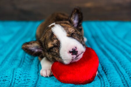 Red Basenji puppy dog is sleeping with red heart