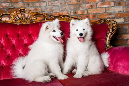 Samoyed dogs on the red luxury couch