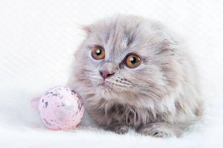 Scottish fold Highland fold kitten cat on Easter
