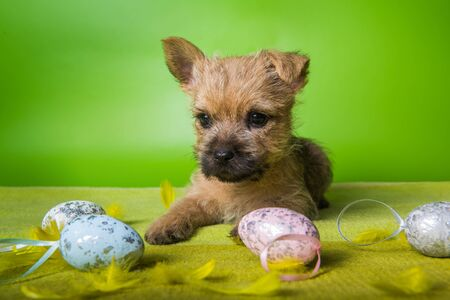 Cairn Terrier puppy with colorful Easter eggs