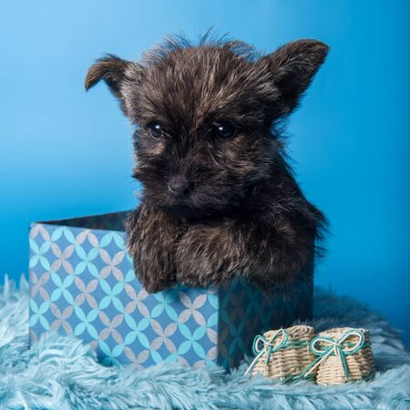 Cairn Terrier puppy dog in box on blue background