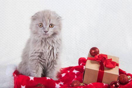 Scottish fold Highland fold cat and gift box