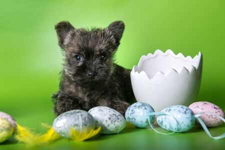 Cairn Terrier puppy with colorful Easter eggs Archivio Fotografico