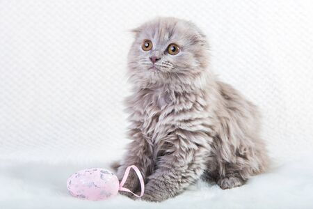 Gray Scottish fold Highland fold kitten cat with round head is and the folded ears sits playing with Easter egg. Portrait on white background