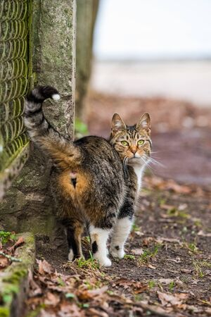 Tabby Cat back or turned around. Kitty is going or walking on old road. Cat life.