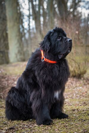 Black Newfoundland giant large size dog outside