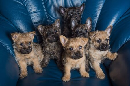 Six Cairn Terrier puppies dogs kennel on couch