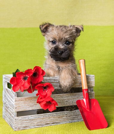 Funny wheaten or red Cairn Terrier puppy dog is sitting in box with red poppy flowers and shovel on green