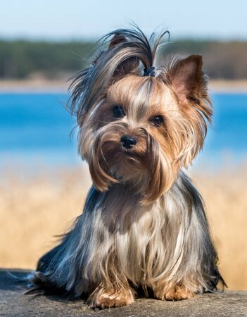 Yorkshire terrier dog sitting close up on nature