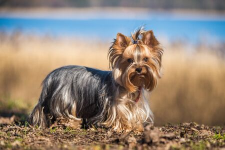 Yorkshire terrier dog sitting close up on nature Stock Photo