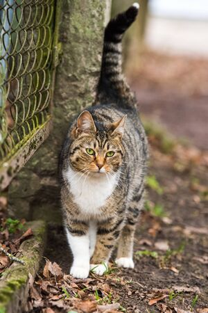 Spring March tabby cat near the old fence. Banque d'images