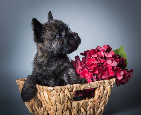Funny black Cairn Terrier puppy dog in a wood basket with red hydrangea flowers.