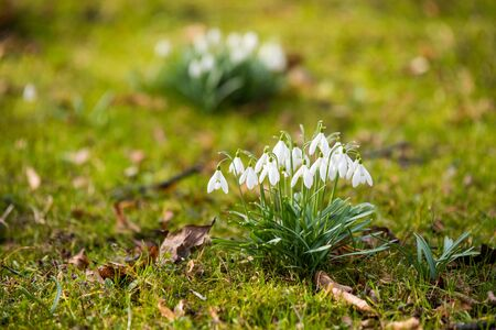 Snowdrops flowers on nature background in spring, small white drooping bell shaped flowers. Symbol of spring. Place for text